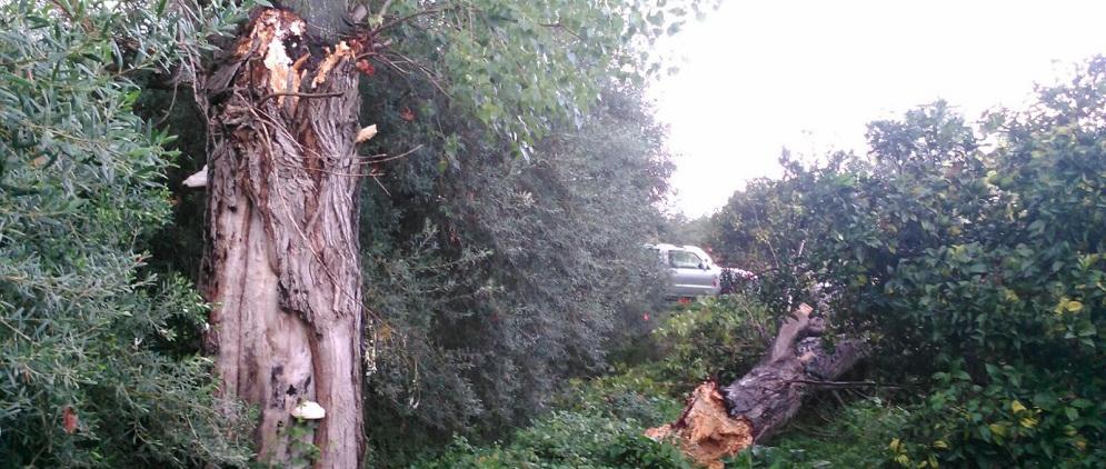 alberi sradicati evidenza
