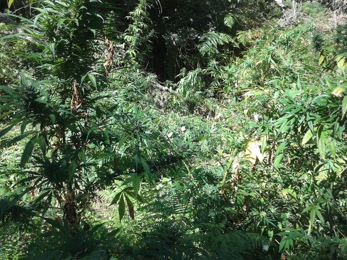 Droga: piantagione di marijuana