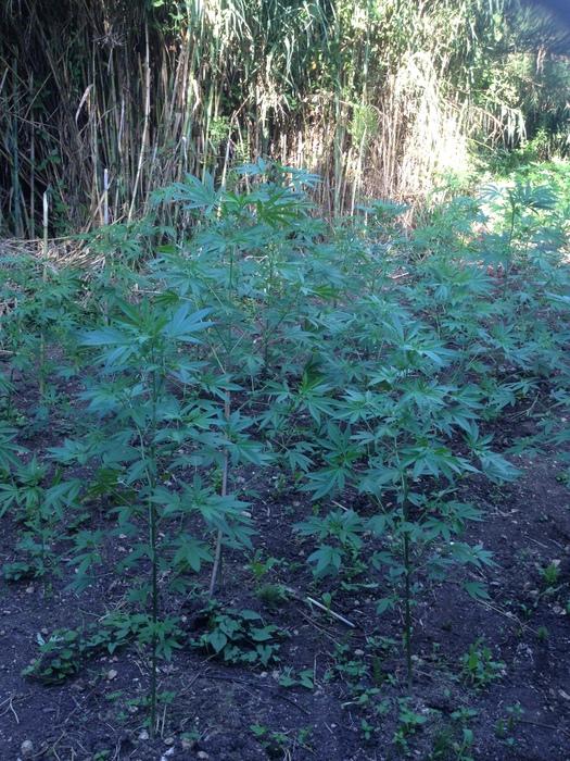Piantagione di marijuana, canapa indiana