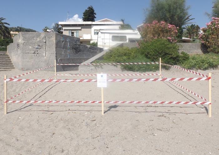 Tartaruga Caretta Caretta deposita uova su spiaggia Diamante