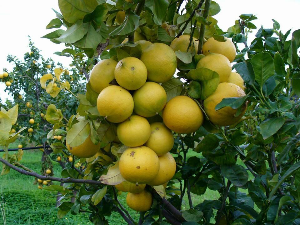 convegno-caulonia-dallarancia-al-bergamotto