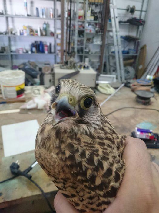 Foto ansa - Il falco Gheppio